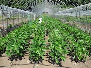 各種作物の試験栽培:そば
