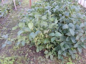各種作物の試験栽培:大豆