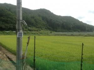 稲は順調に育っています。