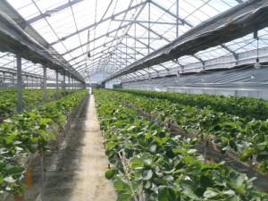 出荷を再開した佐藤博さんのイチゴの点滴溶液栽培のハウス